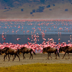 lake magadi flamingos n wildbeast